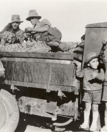 Grape harvest.  The boys are on the right: Leo, Roy and Ori